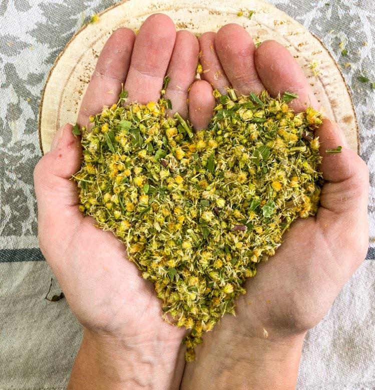 Zdravilne lastnosti zlate rozge